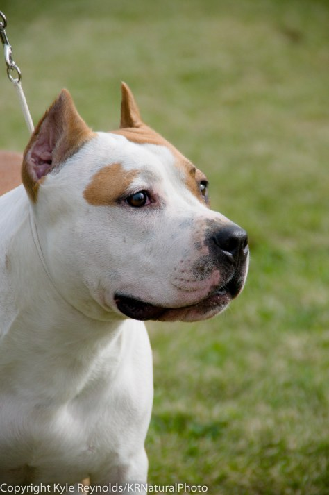 American Staffordshire Bull Terrier