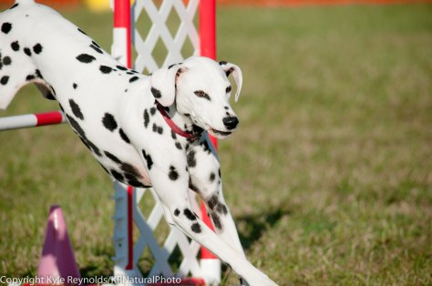 Dalmatian competing in agility