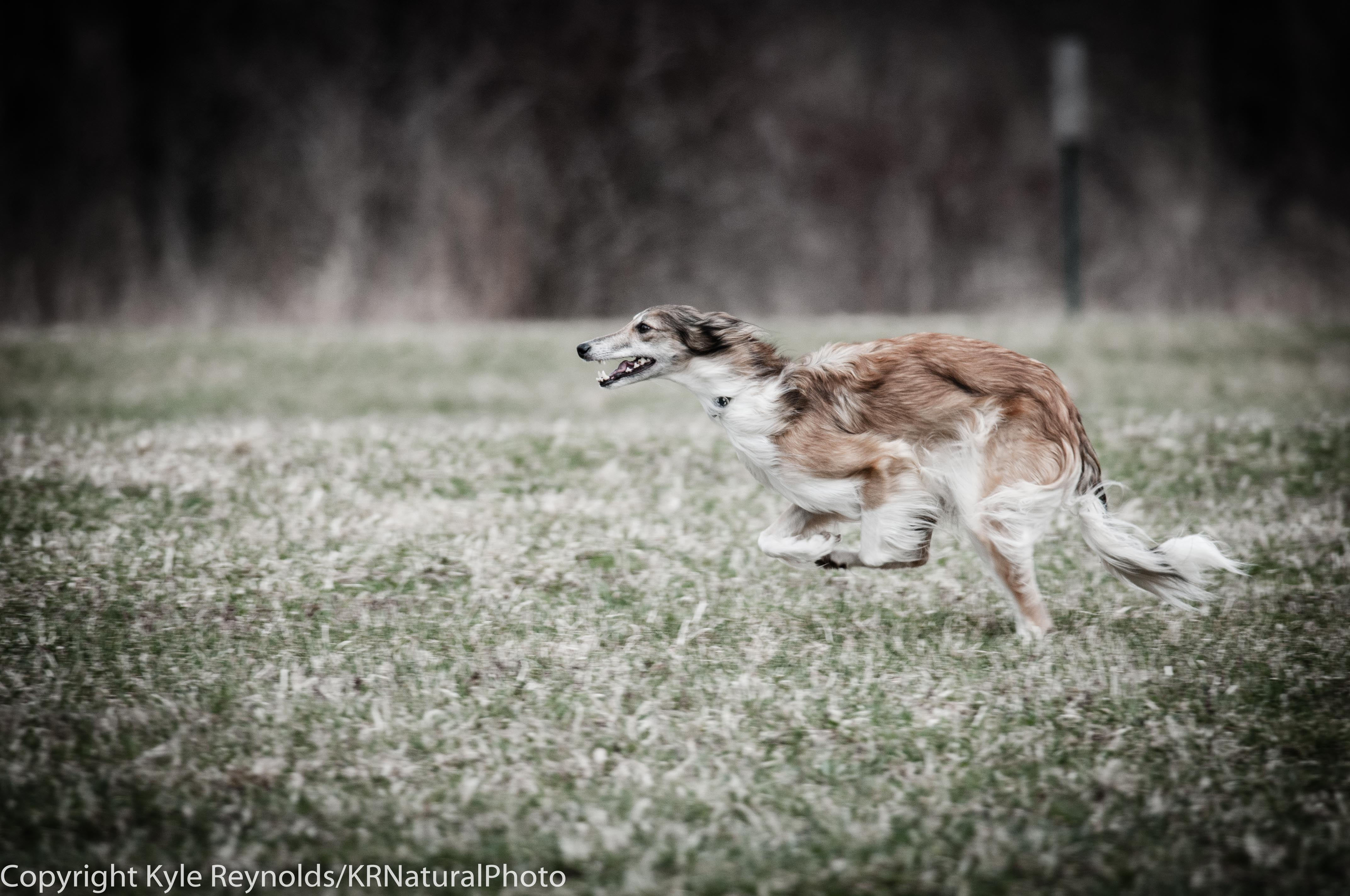 lure-coursing_april-19-2014_688