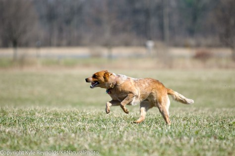Lure Coursing_April 19, 2014_1973